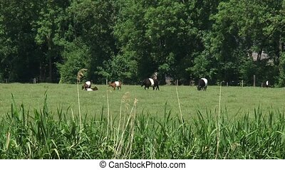 Dutch Belted cattle, Lakenvelder grazing in pasture - medium...