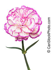 pink flower - Beautiful pink flower on a white background