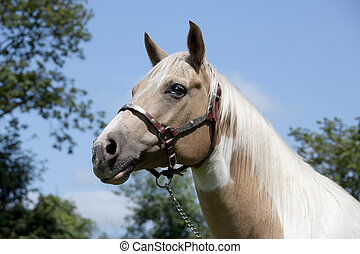 Palomino Horse portrait - Horse head with fine bridle...