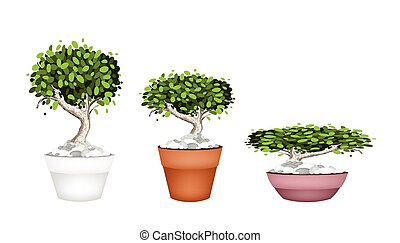 Set of Bonsai Tree in Ceramic Pots - Houseplant,...