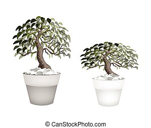 Two Beautiful Bonsai Tree in A Flower Pot - Houseplant,...