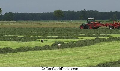 White storks forage in hayland + tractor farmer in...