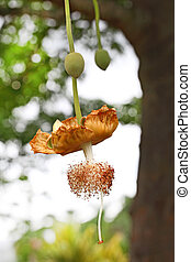 Baobab Flower - Baobab Adansonia Digitata flower and fruit...
