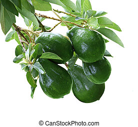 Avacado Tree - Persea American Avacado fruit on tree...