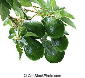 Avacado Tree - Persea American Avacado fruit on tree...