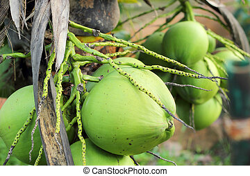 Coconut tree in the nature