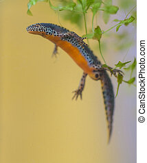 Submersed Alpine Newt in water - Wild Alpine Newt,...