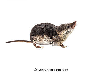Isolated Common shrew (Sorex araneus) with clipping path -...