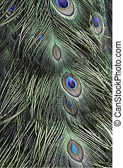 green peacock feathers - Green and blue bird plumage, green...