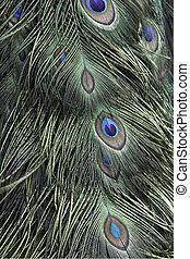 verde, Pavo real, plumas,