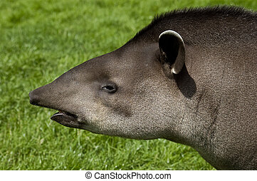 Tapir Profile - An image of a Brazilian Tapir head and...