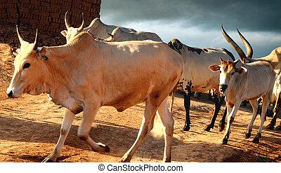 Dinka Cattle - Dinka cattle heading home near Wau in South...