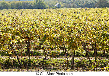 Sunny vine rows - Sunny autumn green vine rows in orchard...