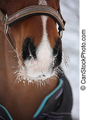 Close up of bay horse nuzzle in winter