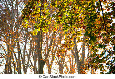 golden autumn - colorful colored leaves in thr front of some...