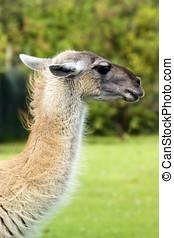 Llama - Close up of a Llama (Lama glama)