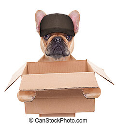 moving box dog - french bulldog holding a moving box,...