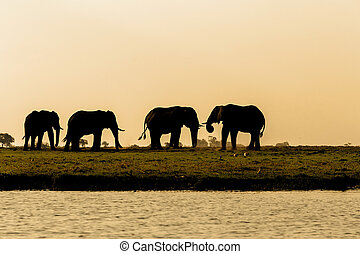 African Elephant in Chobe National Park - Evening silhouette...