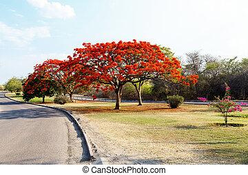Delonix Regia (Flamboyant) tree with blue sky. - Delonix...