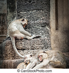 Long tailed macaque monkeys relaxing in Thailand - Long...