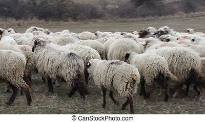 Donkey among Sheep - Herd of sheep and curios donkey among...