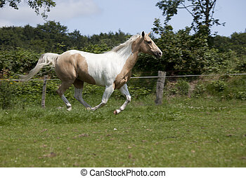 Palomino Horse gallop - Horse with fine bridle Palomino...