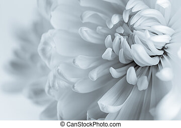 White chrysanthemum petals on white background
