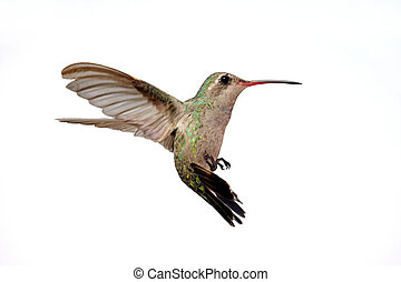 Isolated Broad-billed Hummingbird Cynanthus latirostris -...