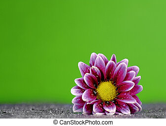Spring Fresh Flower - Fresh purple flower with dew drops on...