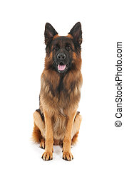 German shepherd isolated over white background
