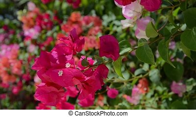 Bougainvillea or paper flower - Beautiful purple...