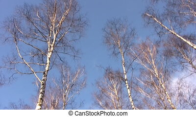 Tops of birches in blue sky