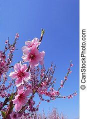 Cherry Blossoms With Blue Sky - Cherry blossoms in full...