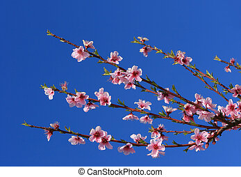 Cherry Blossom Branches - Cherry blossoms in full bloom...