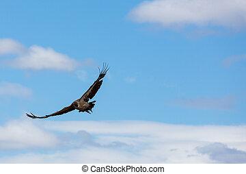 african vulture in flight