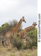 african giraffe in bush