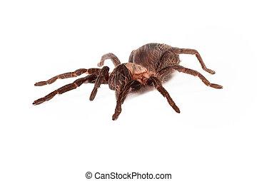 Honduran Curlyhair tarantula - A large Honduran Curlyhair...