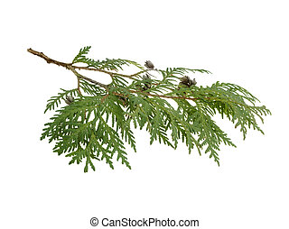 cypress branch isolated on white background