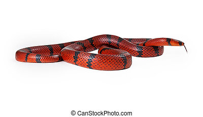 Red Milk Snake Curled Up - A large red Hungarian milk snake...