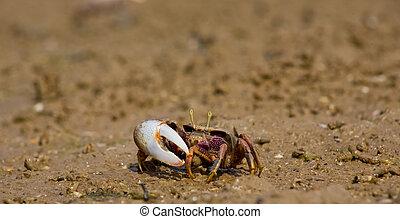 atlántico, pantano, violinista, crab, ,
