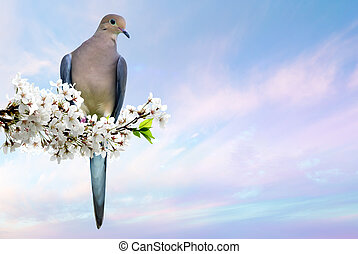 Dove perched on blossoming cherry branch