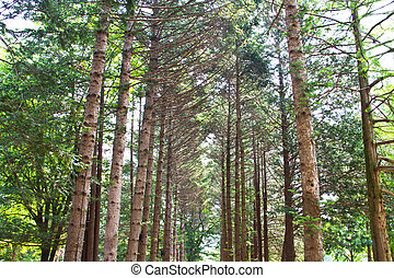 Raw of trees at Nami Island,South Korea