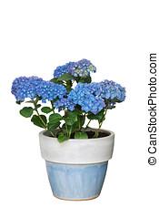 hydrangea, flowerpot, isolated - Blaue Hortensie im...