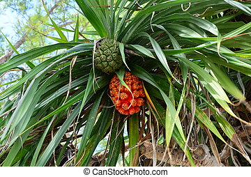Pandanus is type of herb.