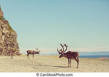 Raindeer - reindeer in Norway
