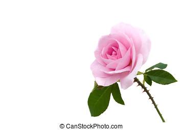 pink rose, isolated - Rosa Rose, Stengel, Bl?tter, Dornen,...