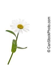 white daisy, isolated
