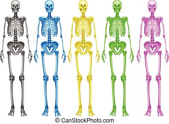 Coloured skeletons - Coloured human skeletons on a white...