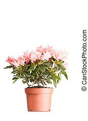 Indian azalea with flowers of salmon color in a pot, it is isolated on a white background