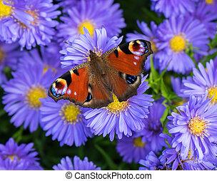 Peacock butterfly - Aglais io - A peacock butterfly - Aglais...